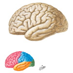 Illustration of Lateral Surface of the Brain from the Netter Collection