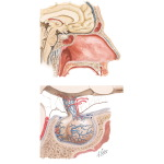 Anatomy and Relations of the Pituitary Gland