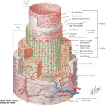Illustration of Structure of Coronary Arteries from the Netter Collection