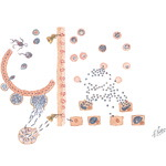 Illustration of Life Cycle of Malaria Parasites (Plasmodium Vivax) from the Netter Collection
