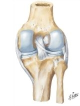 Knee Joint, Anterior View