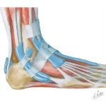 Ankle Joint Muscles, Lateral View