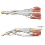Extensor Tendons In Fingers