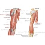Illustration of Arm: Anterior Compartment Muscles and Nerves from the Netter Collection