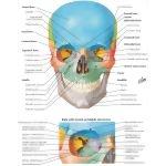 Ethmoid Bone Anterior View Unlabeled Anterior Aspect of Sku...