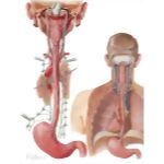 Innervation and Lymphatic Drainage of Esophagus