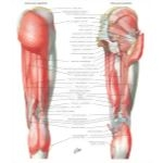 Illustration of Muscles of Back of Hip and Thigh Muscles of Hip and Thigh: Posterior Views  from the Netter Collection