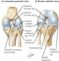 Cruciate and Collateral Ligaments of Right Knee Joint Knee ...