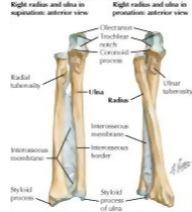 forearm: bones, Cephalic Vein