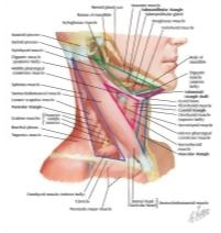 Illustration of Muscles of Neck: Lateral View from the Netter Collection