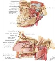 Arterial Supply of the Mouth and Pharynx II Maxillary ...