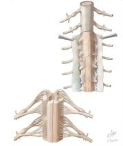 Spinal Membranes and Nerve Roots