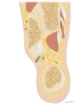 Cross Section of the Ankle and Foot: Coronal View