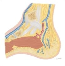 Cross Section of the Ankle and Foot: Sagittal View