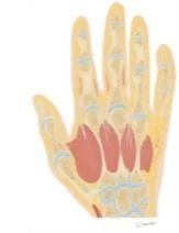 Cross Section of the Hand: Coronal View