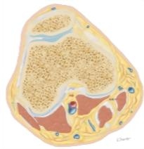 Cross Section of the Knee: Axial View