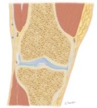 Cross Section of the Knee: Coronal View