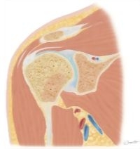 Cross Section of the Shoulder: Coronal View