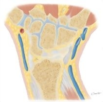 Cross Section of the Wrist: Coronal View