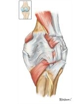 Leg and Knee: Joints