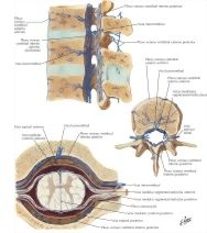Veins of Spinal Cord and Vertebrae Veins of Spinal Cord and ...