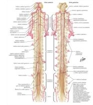 Illustration of Arteries of Spinal Cord: Schema from the Netter Collection
