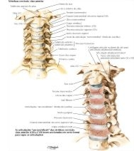 Illustration of Cervical Vertebrae: Uncovertebral Joints from the Netter Collection