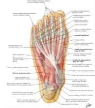 Illustration of Muscles of Sole of Foot: Second Layer from the Netter Collection