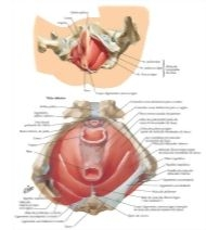 Illustration of Pelvic Diaphragm: Female from the Netter Collection