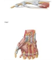Muscles and Tendons of Hand and Fingers