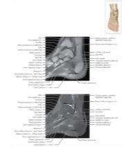 Illustration of Cross Section of the Ankle and Foot: Coronal View from the Netter Collection