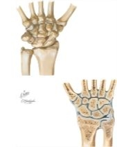 Carpal Bones and Wrist Joint