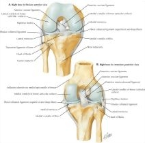 Cruciate and collateral ligaments of right knee joint knee cruciate 61892 ccuart Images