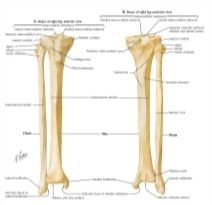 Tibia And Fibula Labeled Pictures to Pin on Pinterest ...