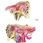 Illustration of Internal Carotid Artery in Petrous Part of Temporal Bone from the Netter Collection