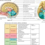 Adult Derivatives of the Forebrain, Midbrain, and Hindbrain