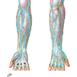 Illustration of Cutaneous Nerves and Superficial Veins of Forearm and Hand from the Netter Collection