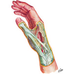 Illustration of Wrist and Hand: Superficial Dissection from the Netter Collection