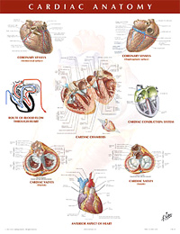 Chart - Cardiac Anatomy