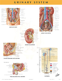 Chart - Urinary System