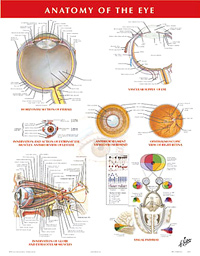 Chart - Anatomy of the Eye