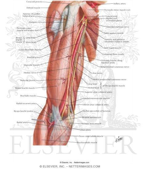 Brachial Artery In Situ - Netter Medical ArtworkMedian Nerve Brachial Artery