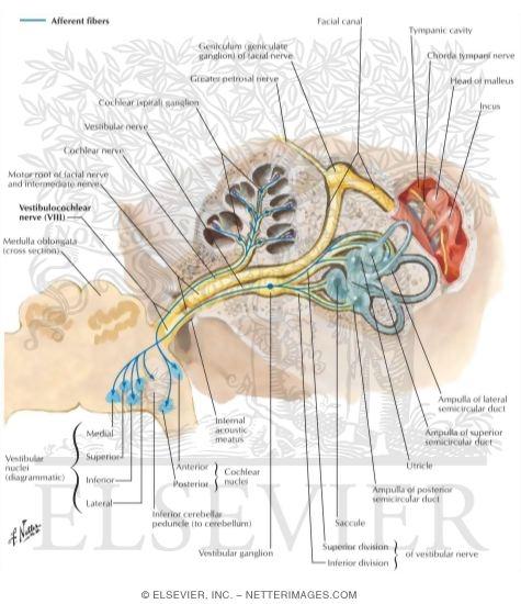 vestibulocochlear nerve viii