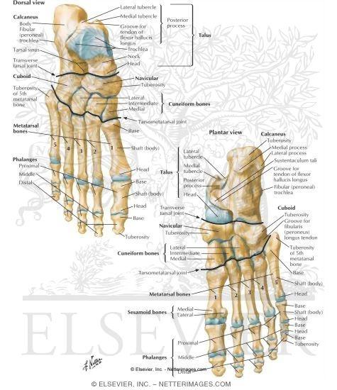bones of foot. Bones of Foot