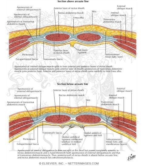 rectus sheath diagram  #6