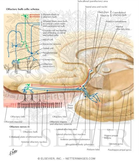 Olfactory Nerve  Cranial Nerve I  First Cranial Nerve