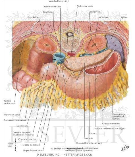 Omental Bursa Anatomy