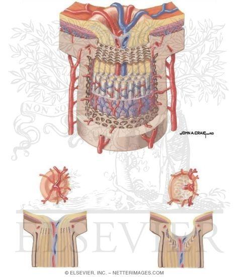 Optic Nerve Anatomy An...