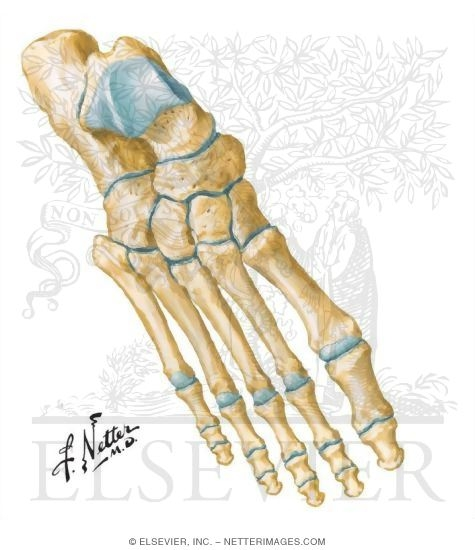 bones of foot. Bones of Ankle and Foot