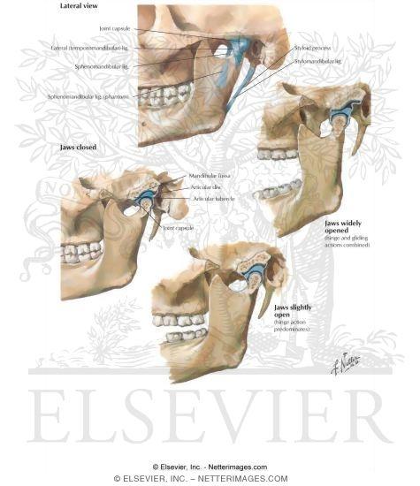 Skull  Temporomandibular Joint